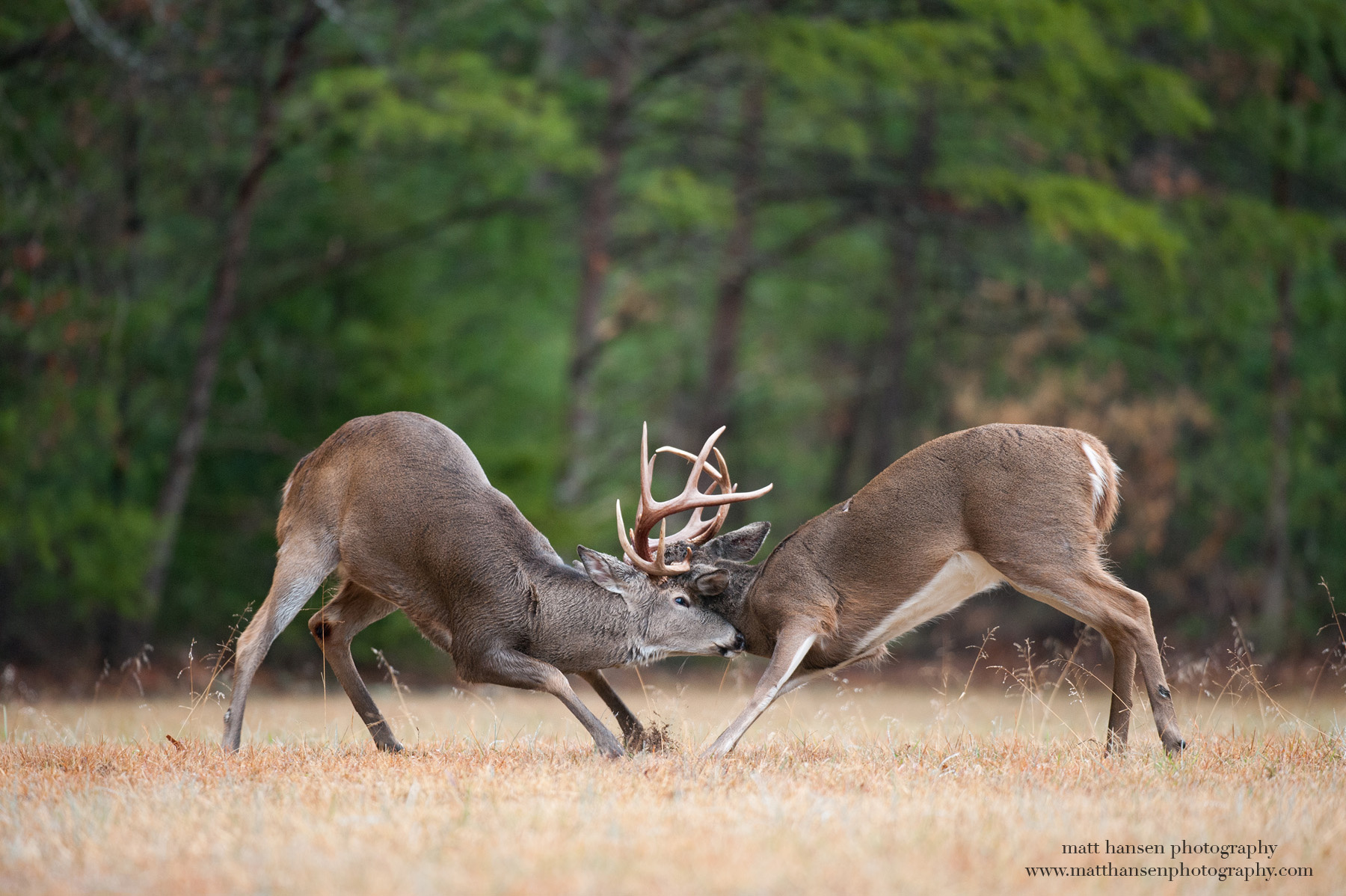 Whitetail Deer Photography by Matt Hansen Photography